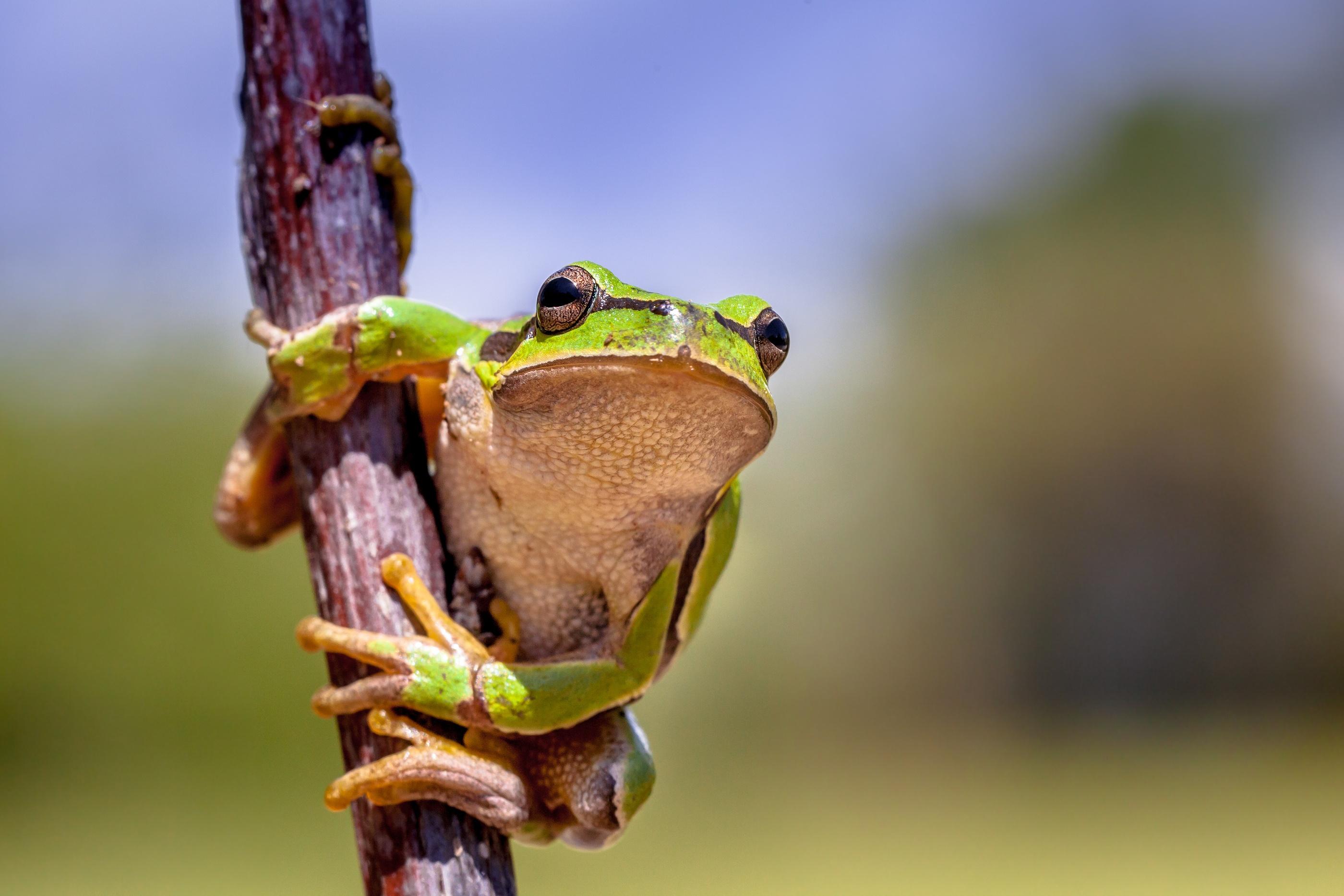 bigstock-Climbing-European-Tree-Frog-145933481